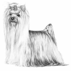 Sweet-Yorkshire-Terrier-Dog-Pup-Sketch