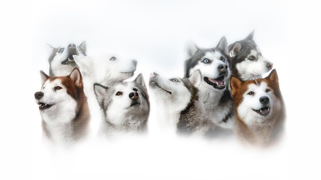 Husky-wallpaper-1366x768